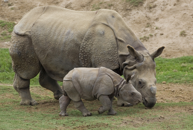 INDIAN RHINO CALF JOINS THE CRASH AT THE SAN DIEGO ZOO'S WILD ANIMAL PARK